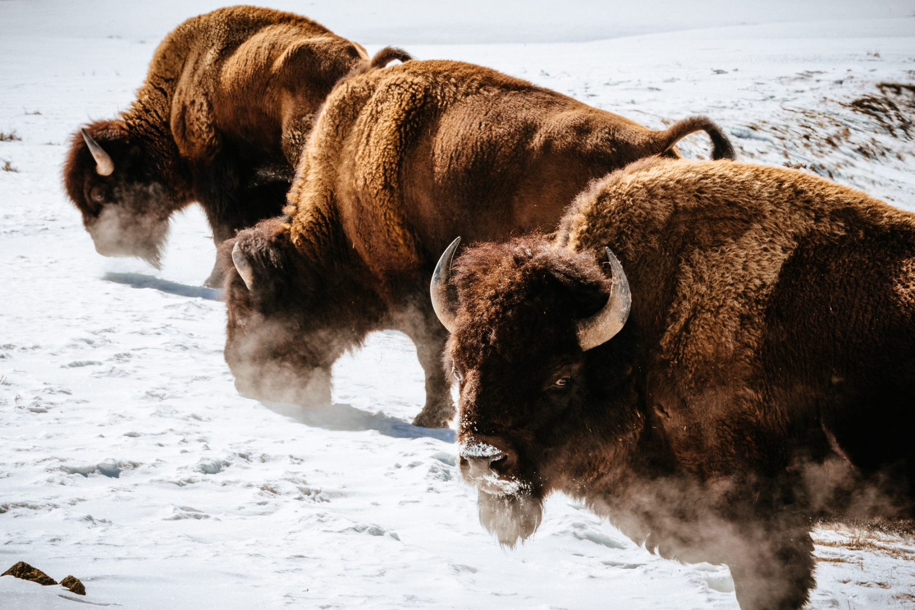 three buffalo grazing